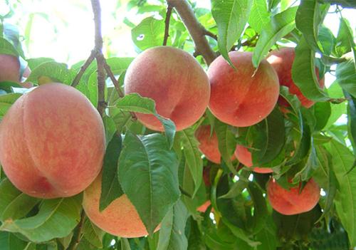 有机蜜桃批发商-潍坊超值的有机蜜桃批发供应