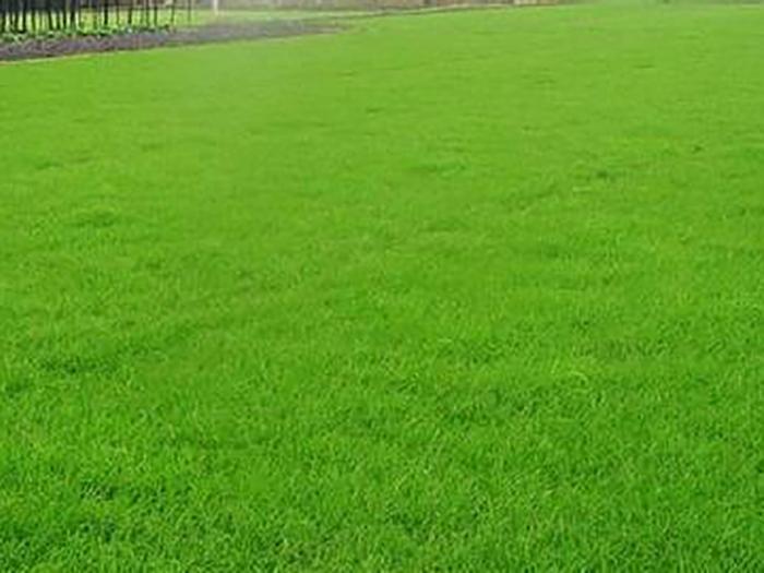 宁夏草坪,银川草坪,宁夏草坪种植基地就找银川绿景源