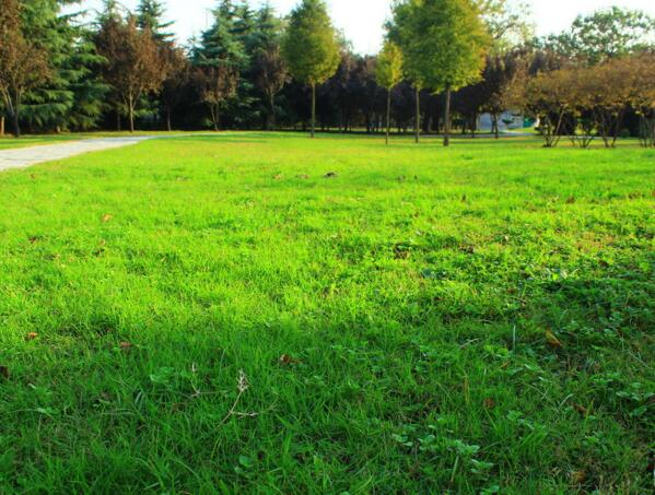 大量出售宁夏银川草坪——宁夏草坪