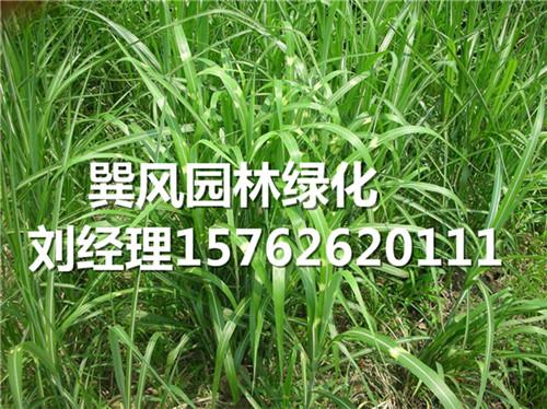 信誉好的观赏草厂商-青州斑叶芒