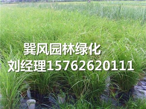 潍坊物超所值的观赏草供应_细叶芒种植基地