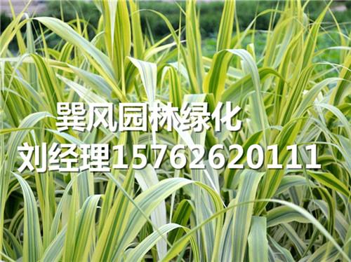 巽风园林出售划算的水生植物观赏草,山东花叶芦竹