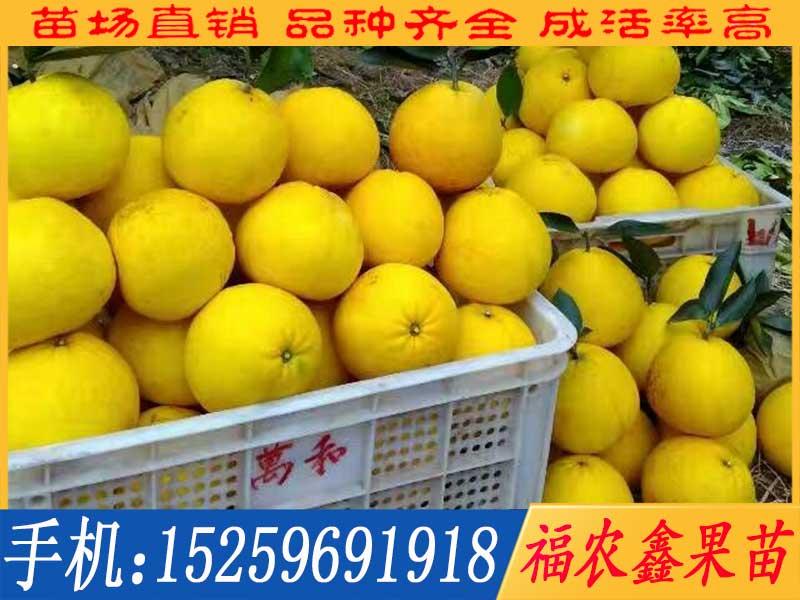 越南青柚苗
