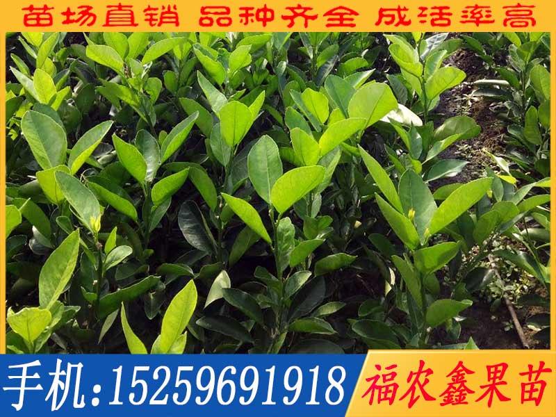 想要易种植的泰国青柚苗厂家直销就来福农鑫果苗-泰国青柚苗