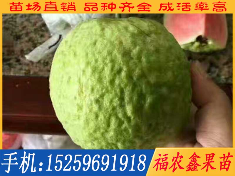 漳州红宝石芭乐苗