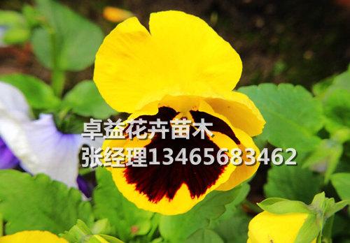 角堇供应商-物超所值的角堇卓益花卉供应