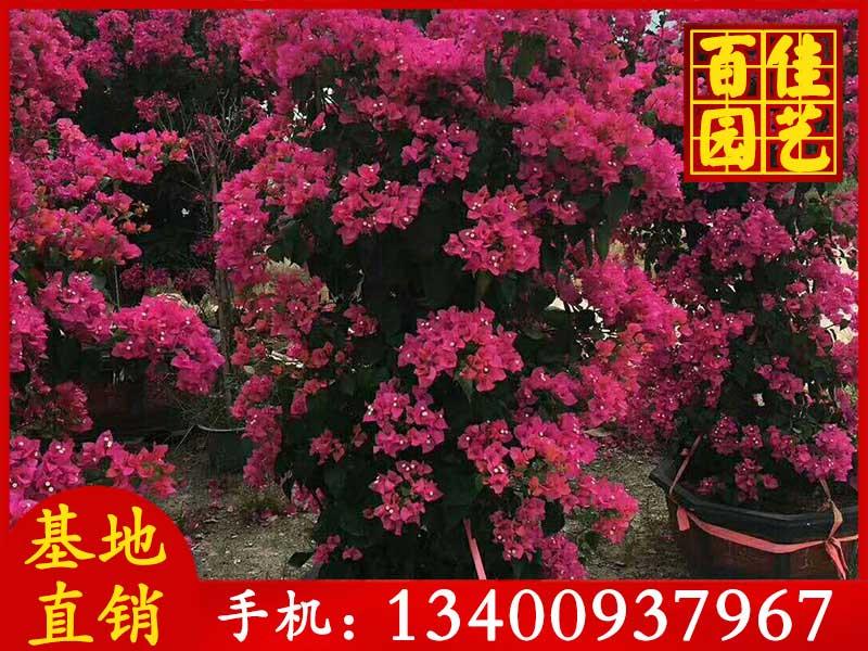 紫花三角梅价格