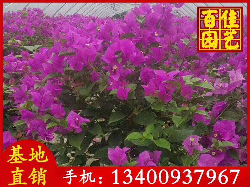 紫色三角梅价格