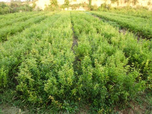 河南软籽石榴树苗-供应河南销量好的软籽石榴树苗