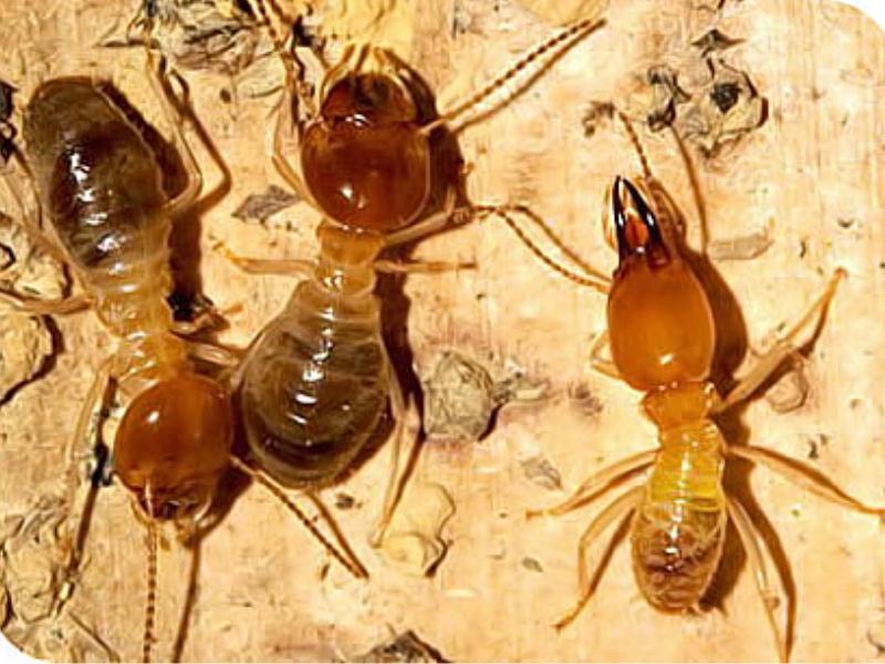 厦门白蚁灭杀-哪儿有专业的白蚁灭杀