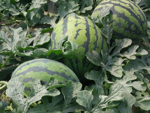 青州有機瓜菜基地-山東實惠的甜王西瓜供應