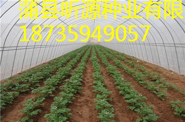 临汾地区哪里有供应优质的有机马铃薯 美味的有机特色马铃薯