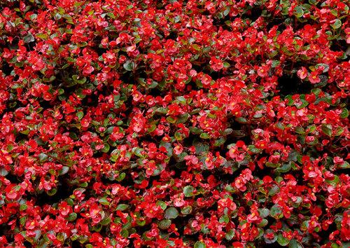 四季海棠出售-潍坊划算的四季海棠供应