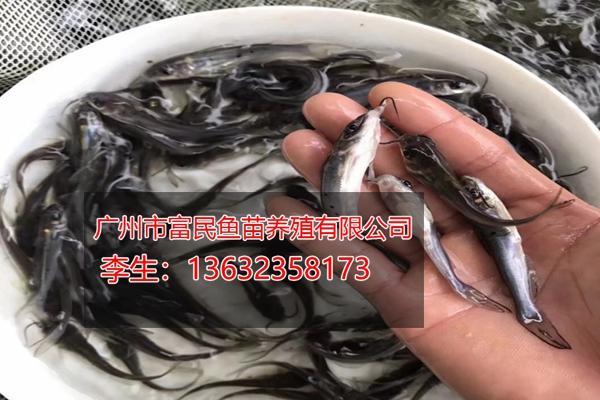 班点叉尾苗,青竹鲩鱼苗,甲鱼,优选广州市富民鱼苗养殖