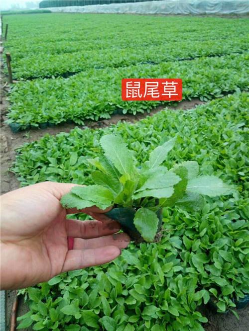 供应鼠尾草 青州鼠尾草报价 专业种植鼠尾草 绿化用鼠尾草