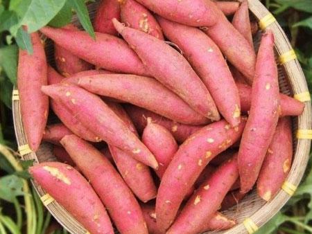 蜜薯出售-供应安全放心的蜜薯