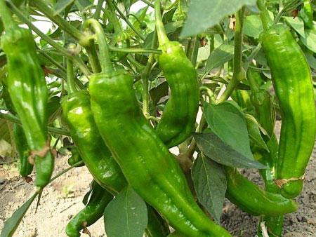 哪里有辣椒,广聚果蔬供应报价合理的辣椒
