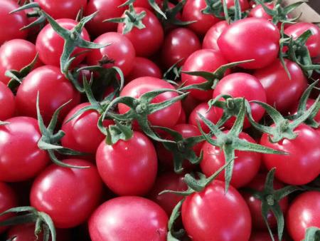 求购小西红柿 山东性价比高的小西红柿【供应】