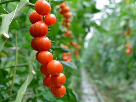 哪里有小西红柿|供应潍坊销量好的小西红柿