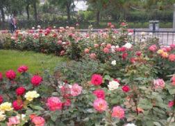口碑好的大花月季供应商,当属立超花卉——大花月季批发