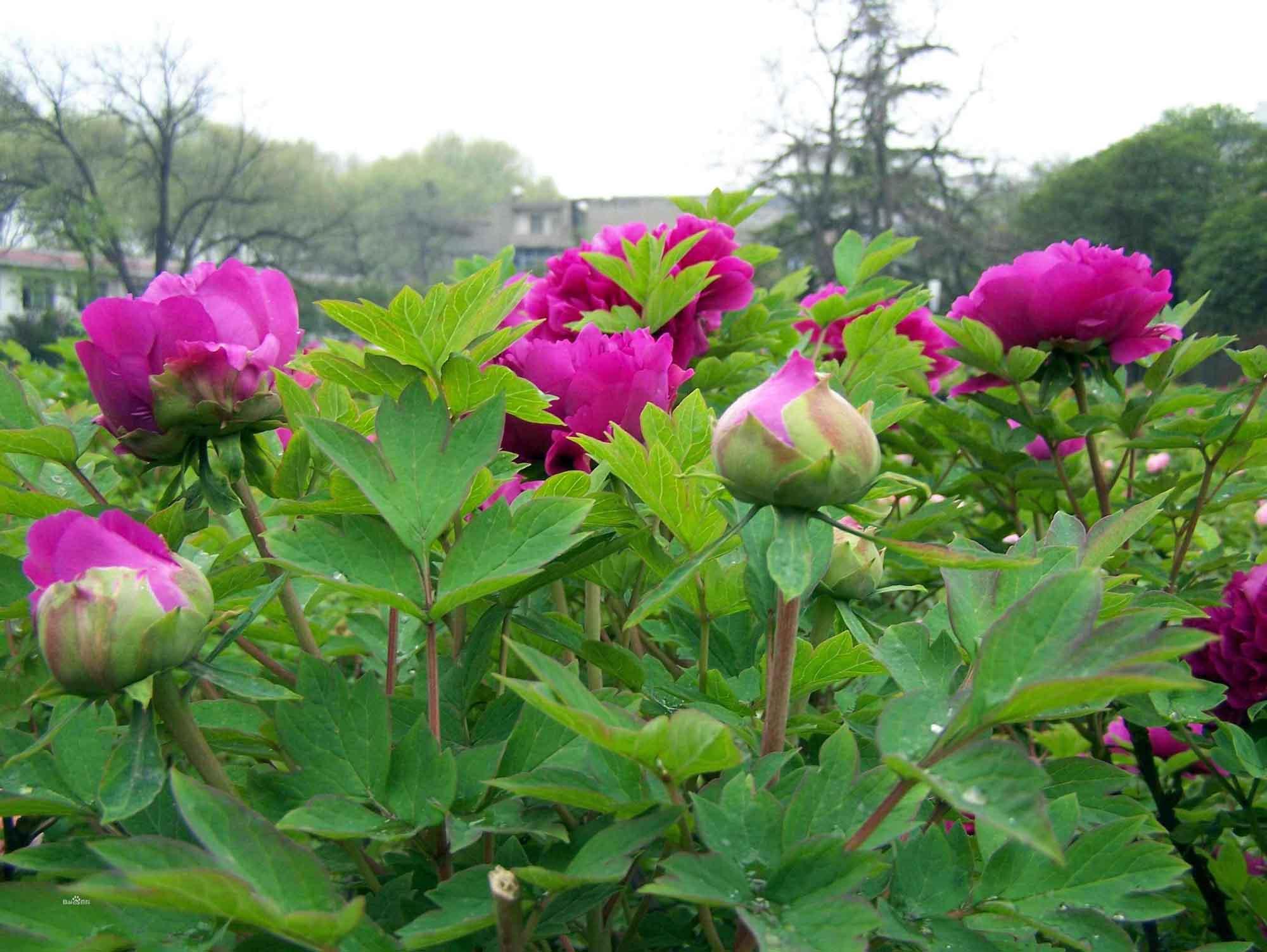 想要品种好的观赏牡丹就来君和园林绿化——观赏牡丹小苗价格