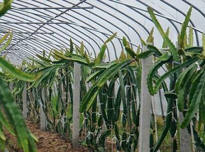 山东火龙果种植大棚,火龙果种植大棚建造找哪家