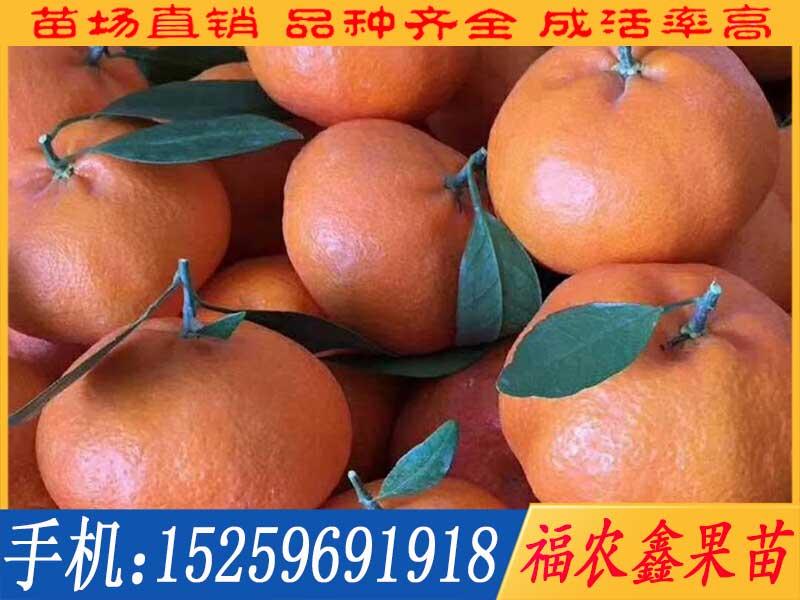 台农天王柑苗