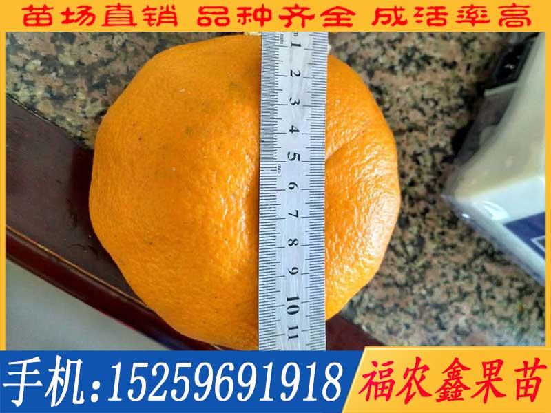 台农天王柑
