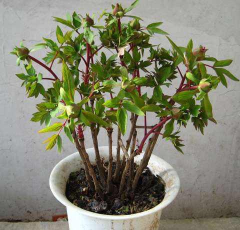 想要选购催花牡丹就来君和园林绿化,菏泽催花牡丹树多少钱