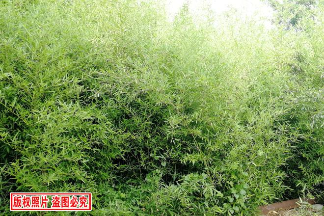 绿化竹子,青皮竹