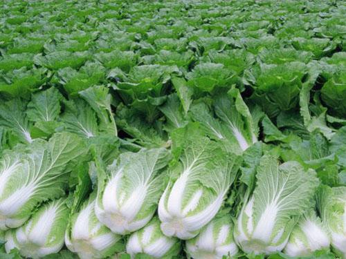 大岭山蔬菜批发_价格优惠的蔬菜推荐