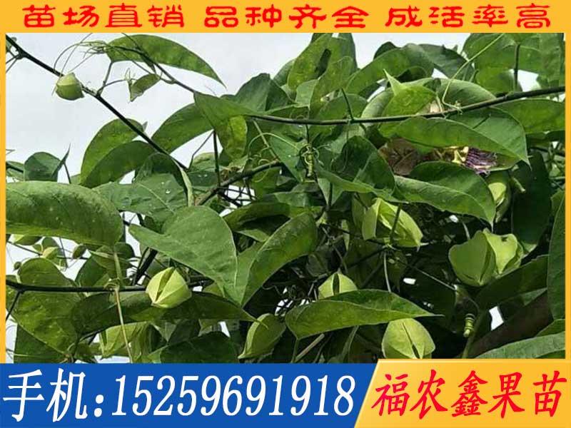 荔枝味百香果供销_想买品种好的绿皮纯甜百香果苗上哪