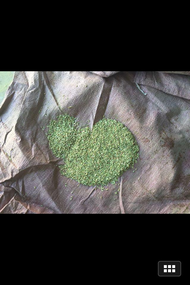 武威哪里能買到小茴香,小茴香多少錢