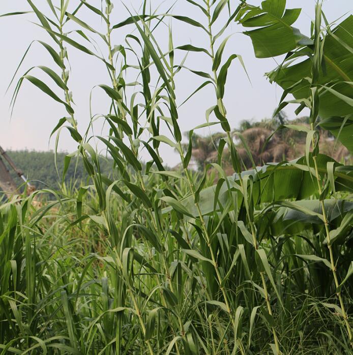 台湾绿洲一号扦插苗扦插苗-绿洲一号牧草种苗的格是多少
