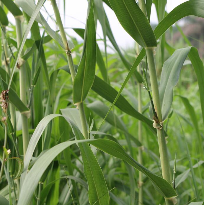 北方种什么牧草产量高-北方高产的牧草品种要上哪买