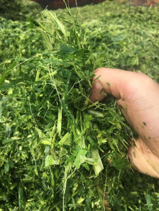 巨菌草饲料,巨菌草加工,巨菌草种苗