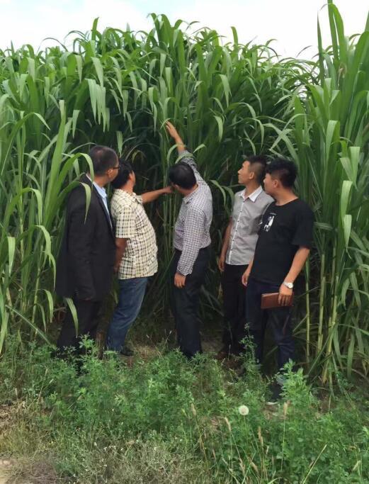 中国巨菌草饲料种苗-海南省品种好的绿洲一号牧草种苗供应