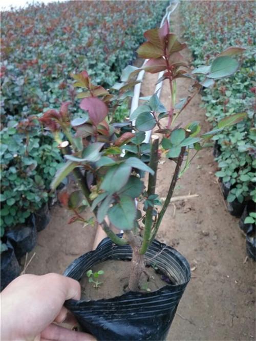 【奇葩见闻】大花月季哪里卖,大花月季种植,大花月季供应