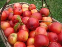 荷兰早红油桃