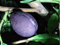中华黑油桃