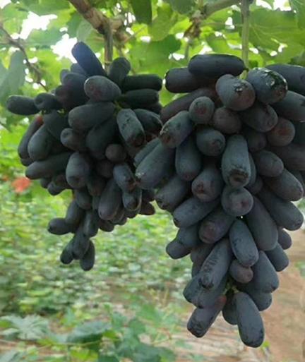 哪里有|好种植的甜蜜蓝宝石葡萄苗出售