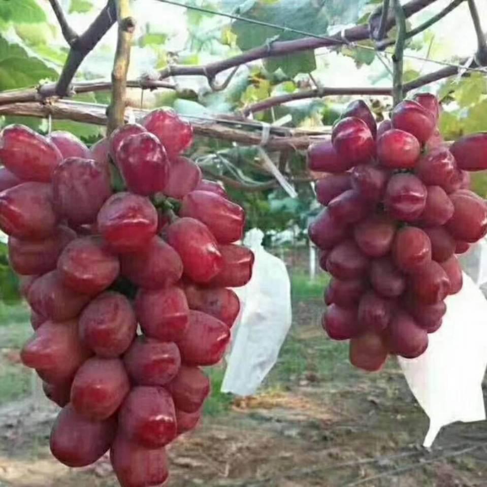 浪漫红颜葡萄苗优质供货商松园苗木,值得信赖