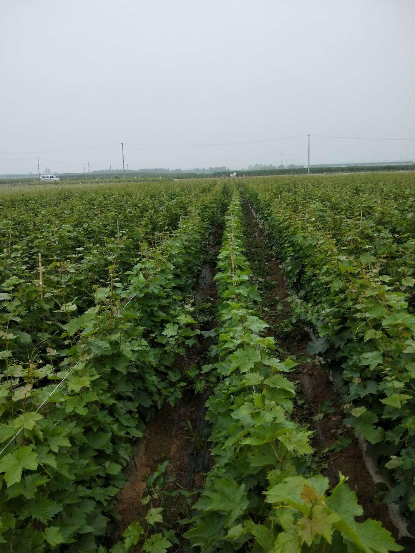 甜蜜蓝宝石葡萄苗加盟,想要易种植的甜蜜蓝宝石葡萄苗就来松园葡萄种植专业合作社