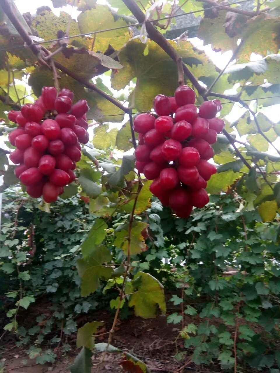 新疆浪漫红颜葡萄苗-供应河北口碑好的浪漫红颜葡萄苗