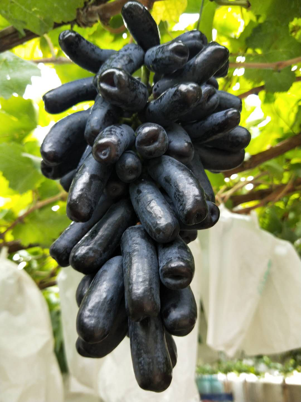江西蓝宝石葡萄苗哪家有 质量好的蓝宝石葡萄苗出售