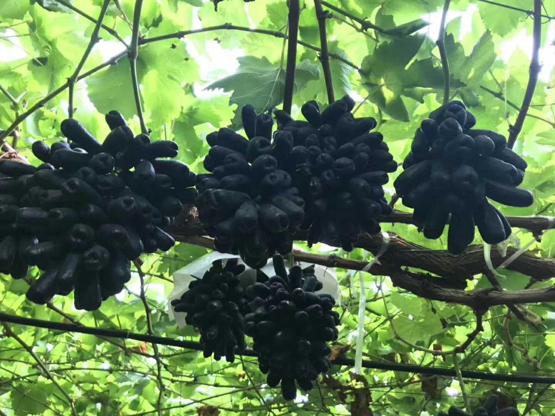 想要选购甜蜜蓝宝石葡萄苗就来松园葡萄种植专业合作社,寻求优质的甜蜜蓝宝石葡萄苗
