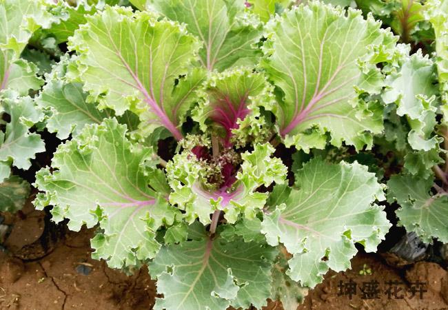 耐寒草花价格,耐寒草花多少钱,耐寒草花盆苗
