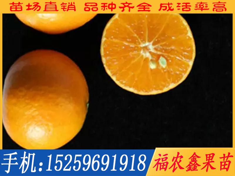 阿斯蜜柑橘苗