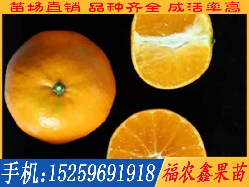 明日见柑橘苗
