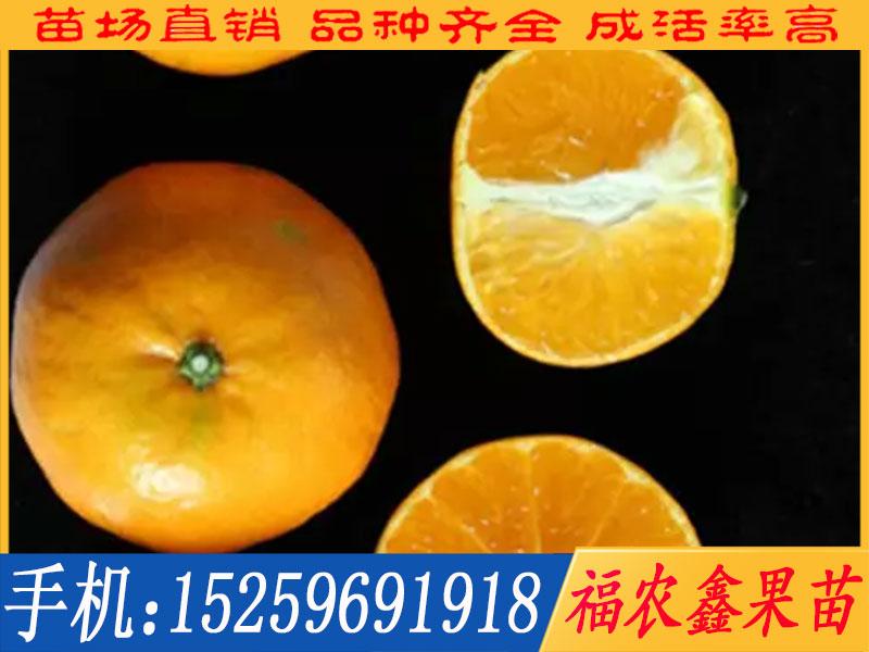 阿思蜜柑橘苗